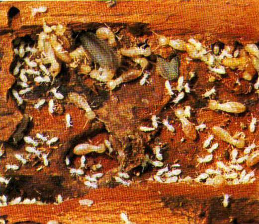 Imagem de uma Colônia de Cupins ativa